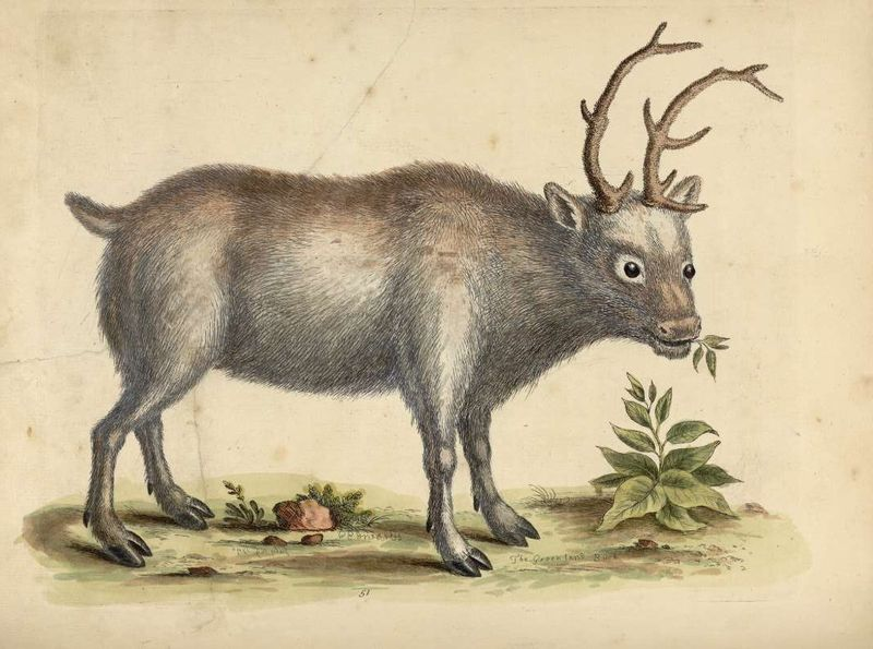 Reindeer_0