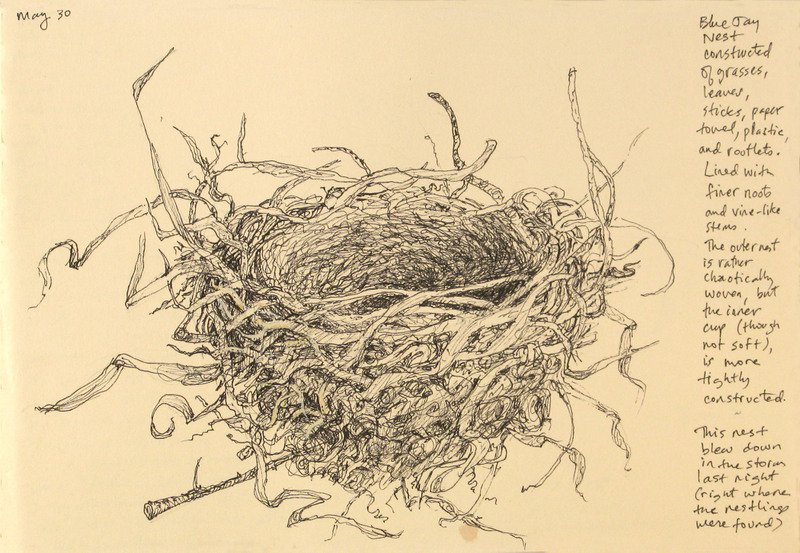 Sketchbook_page_blue_jay_nest_2