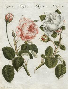 Rosecentifoliagerjpg