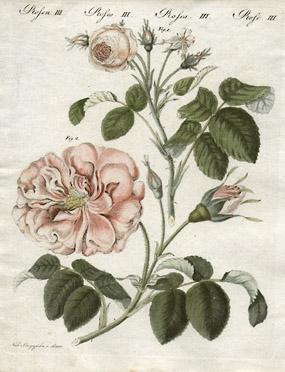 Rosecentifoliaminjpg